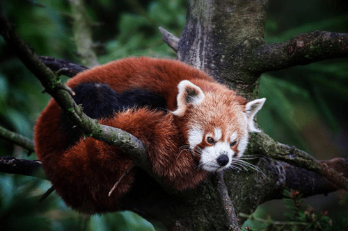 red pandas,cute,grumpy,monday