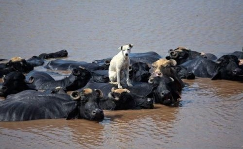 funny hippos ride dogs friends water buffalos