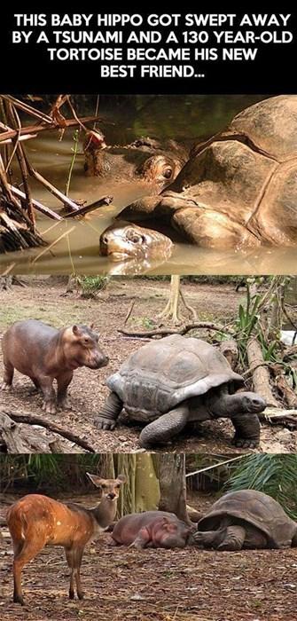 Babies hippos tortoise cute love - 8002614784
