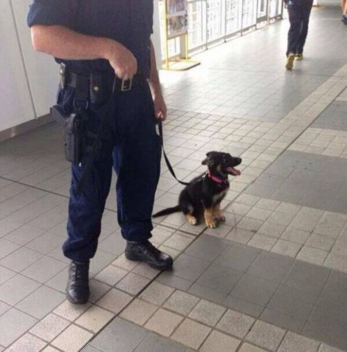 dogs police dogs puppies cute training k-9 - 8002618368