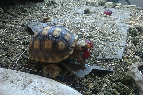Babies tortoise cute - 8003837440