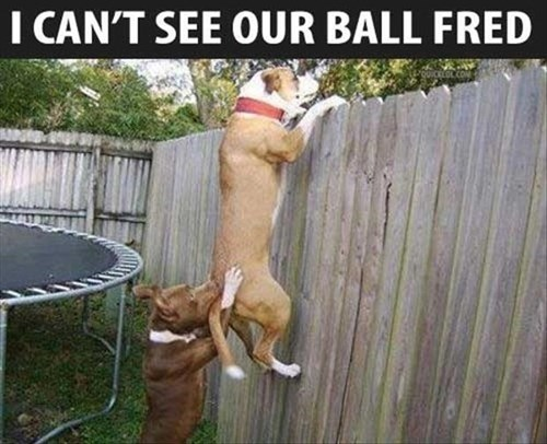 dogs fence ball teamwork trampoline back yard funny - 8004534528