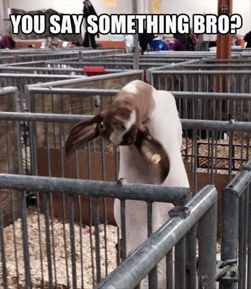 goats puns kidding fair funny - 8004583424