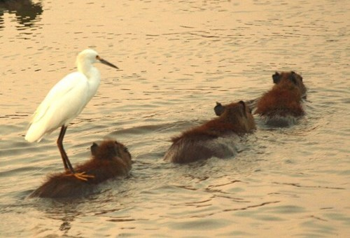 capybara,birds,water taxi,cute,funny