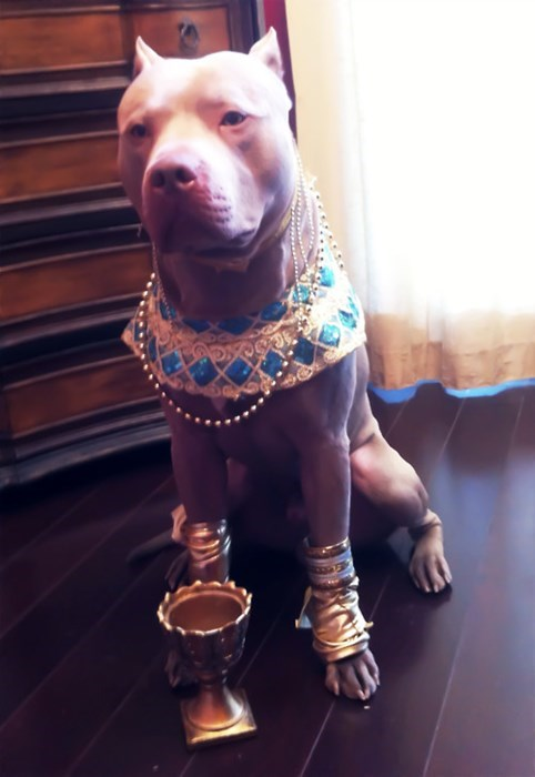 costume,dogs,pitbulls,royalty,king midas,gold