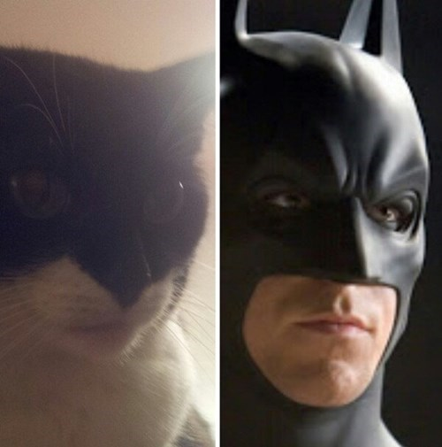 cat,totally looks like,batman