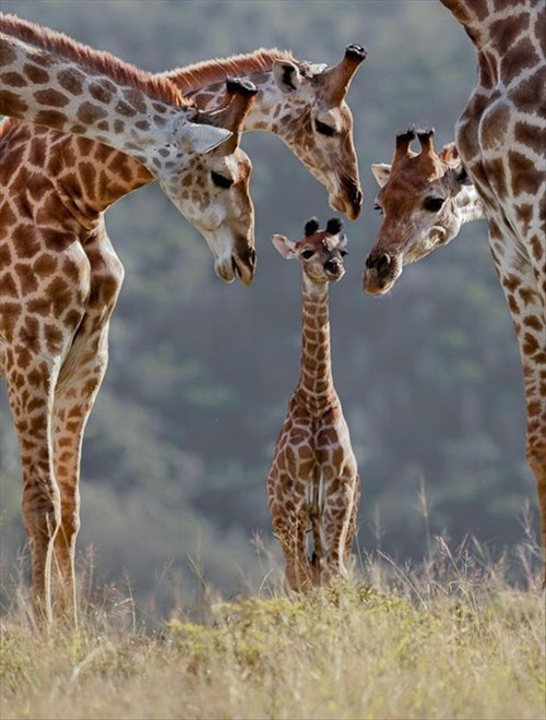 Babies cute family giraffes - 8009420288