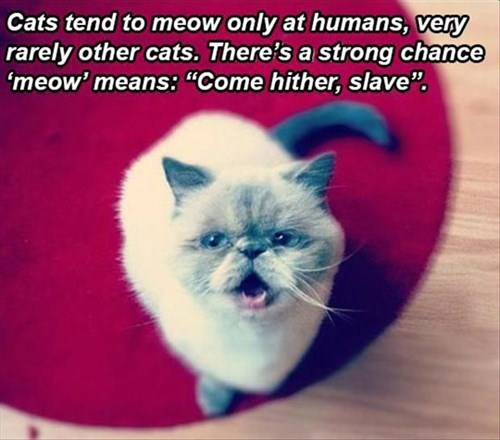 slave bossy meow Cats - 8009423616