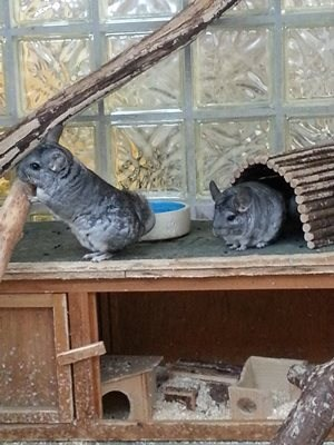 friends,cute,chinchillas