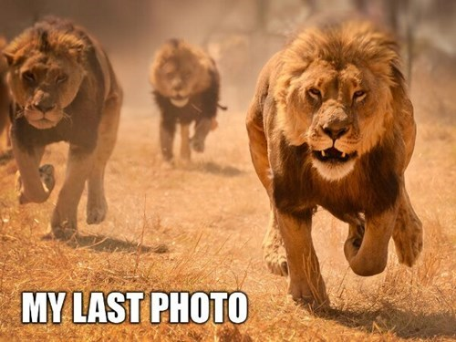 lions attack chase photos camera funny
