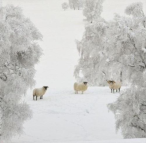 snow,cold,cute,sheep,winter,wool