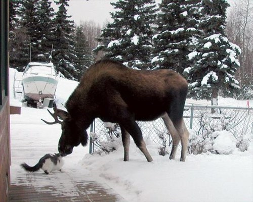 snow,cold,cute,big,winter,Cats,moose
