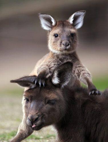 cute joeys curious kangaroos - 8012727552