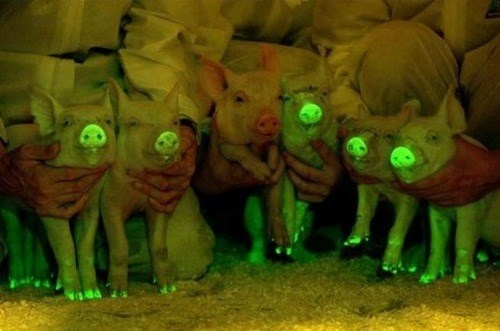 glow in the dark,science,pig