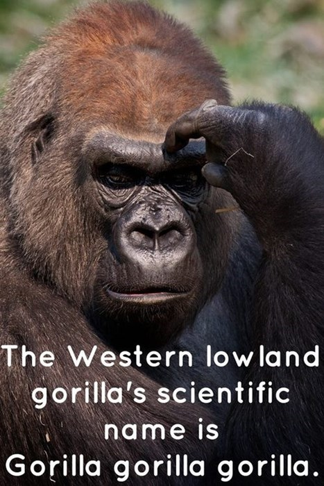 redundant,scientific name,funny,gorilla,g rated,School of FAIL