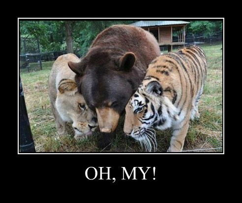 bears,funny,lions,tigers,wizard of oz