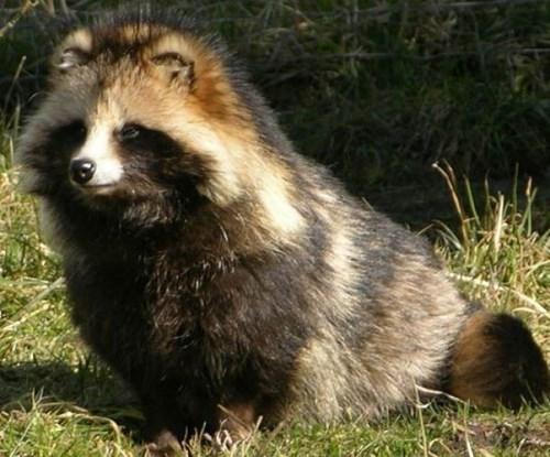 animals cute Fluffy tanuki - 8019067648