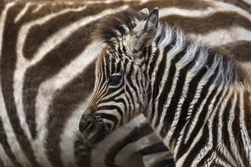 Babies,cute,zebras,mama