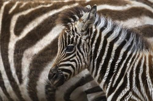 Babies cute zebras mama - 8019075584