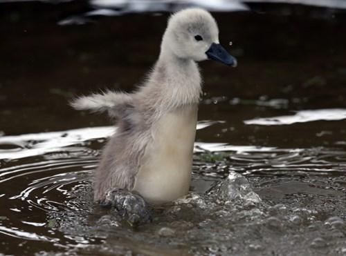 Babies cute fly gosling - 8019082752