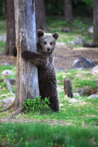 Babies cute bears hug a tree - 8019085824