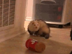 ferrets and peanut butter