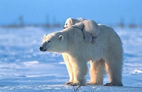 cute,ice,cubs,snow,polar bears,puns,mama