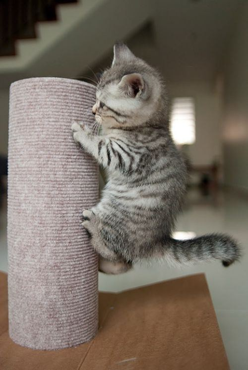 Cats cute climbing kitten - 8023599360