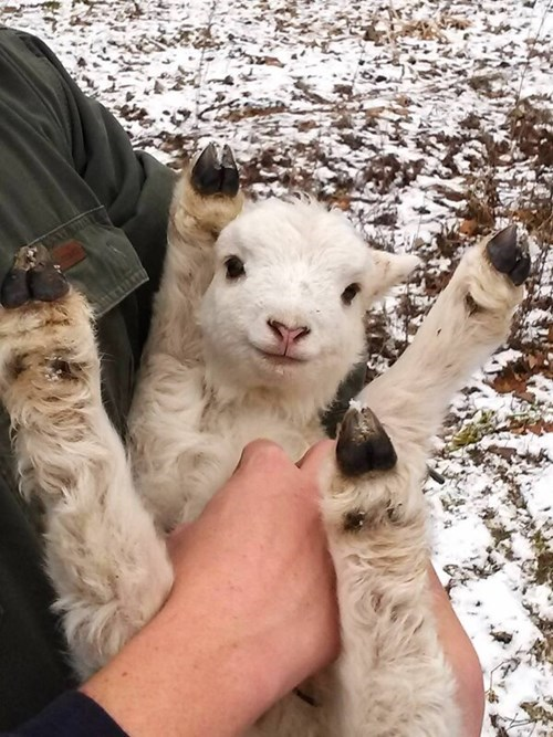 Babies cute goats smile tickle - 8023716352