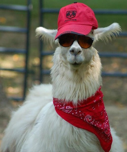 bandanas,llamas,hats,poorly dressed,sunglasses