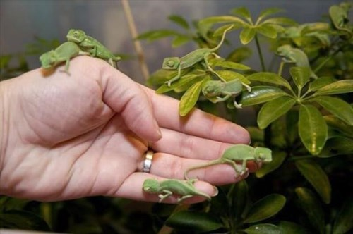 Babies cute chameleons puns lizards - 8025258496