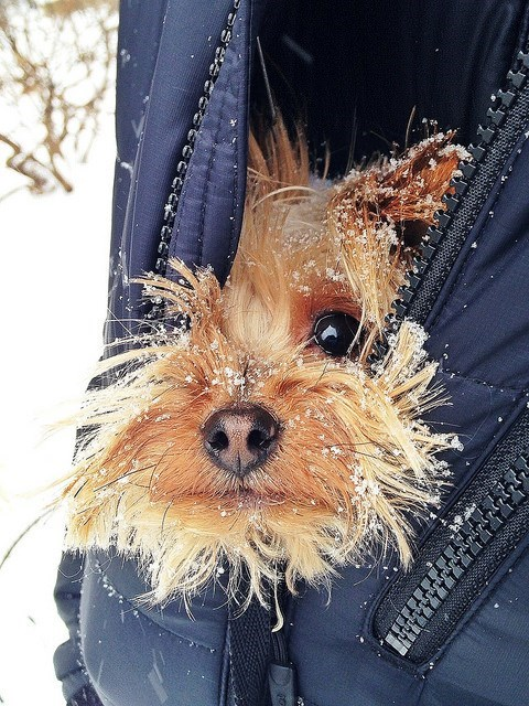 cute dogs cold snow yorkies winter