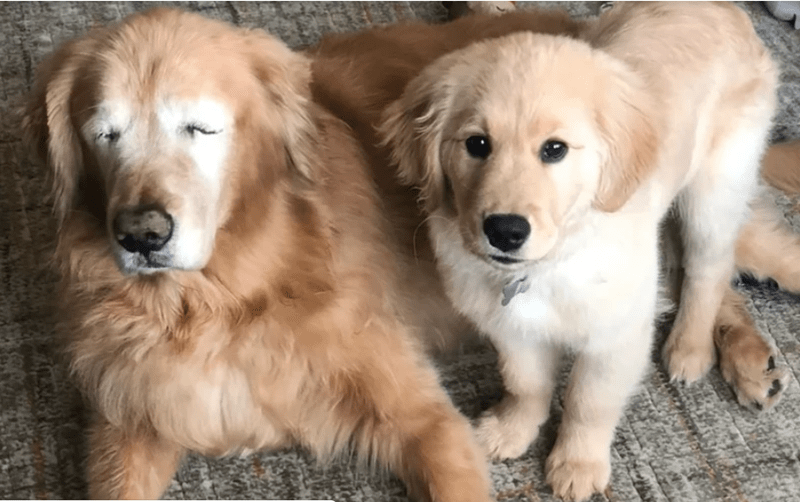 dogs cute blind golden retriever - 8026373