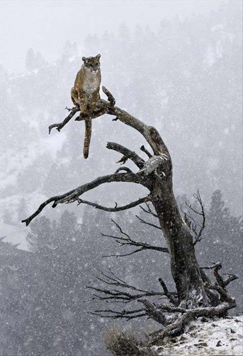 perch trees birds snow cougars hunt
