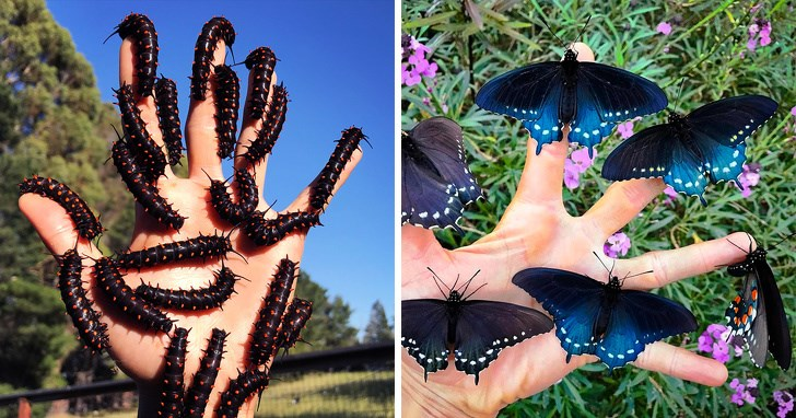 repopulating butterfly rare california pipevine swallowtail - 8026885