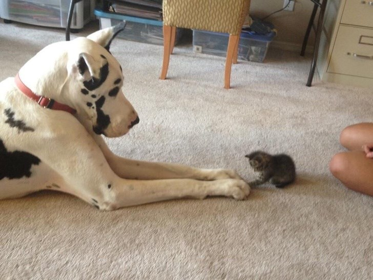 tiny kitten with a big dog