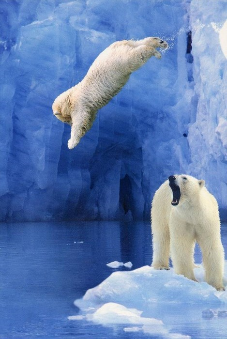 diving,cold,polar bears,moms,cubs