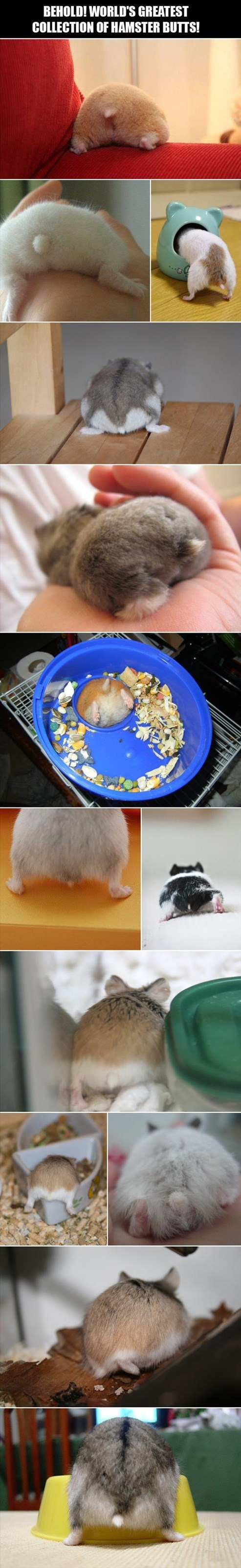 cute,butts,hamsters,list