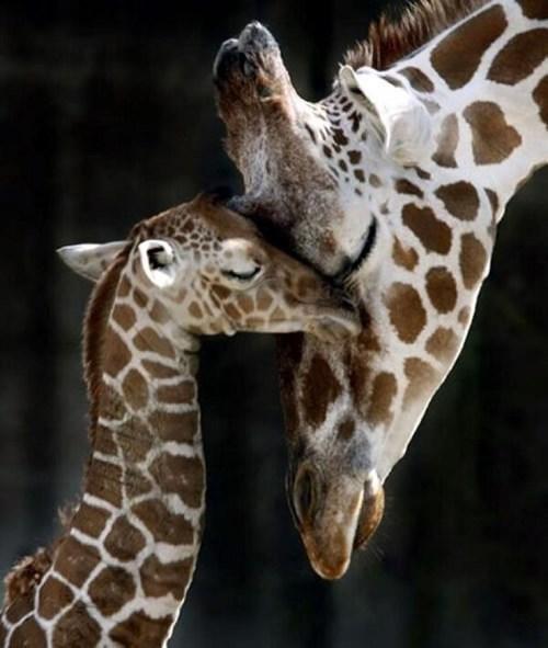 kids parenting giraffes - 8029857024