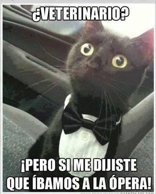 gatos Memes curiosidades animales - 8029982464