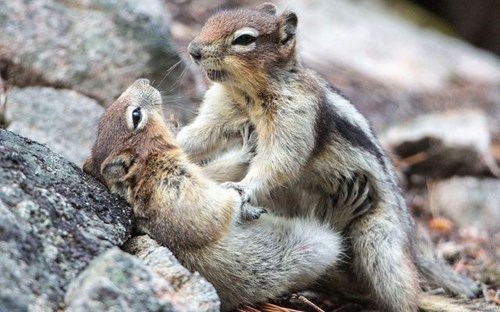 wrestle KISS cute squirrels love