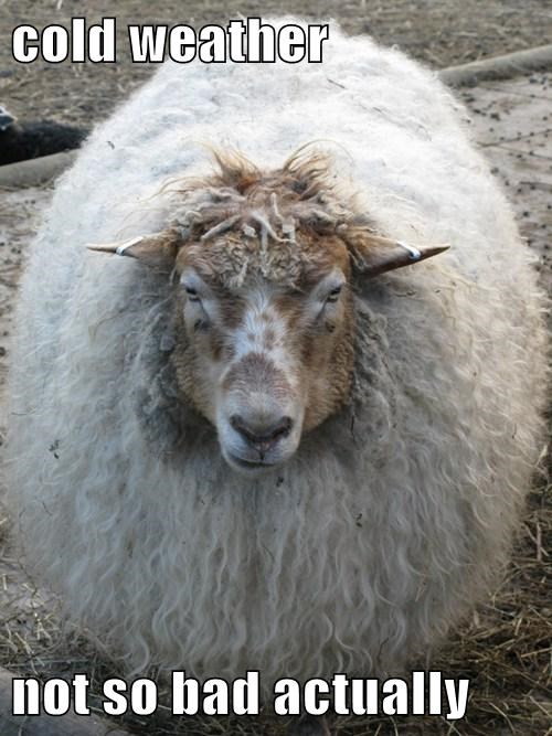 cold weather sheep funny wool - 8031223552