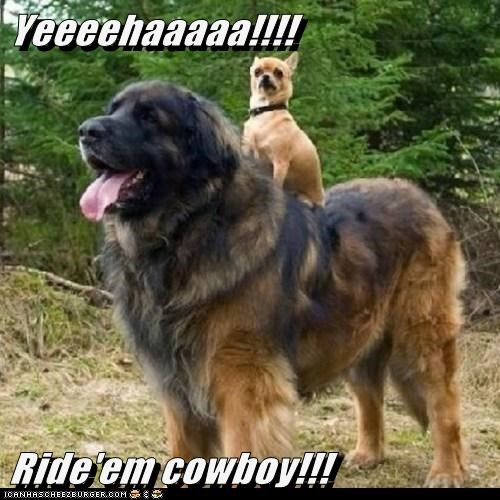 dogs horseback ride cute cowboy horses - 8031668480