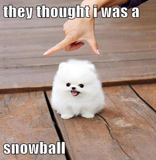 dogs snowball tiny Fluffy cute