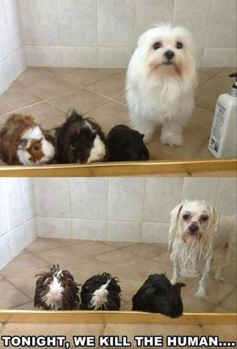 dogs guinea pigs bath angry - 8034400256