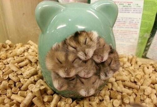 snuggle gerbils cute hamsters funny crammed - 8034408960