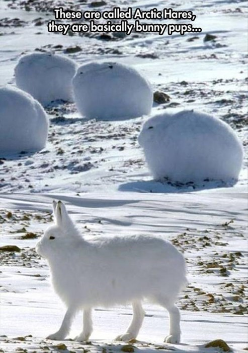 cute Fluffy puppies arctic hares - 8034428672