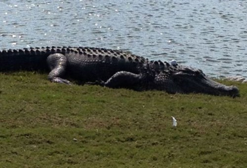 alligator sports golf fail nation - 8036633088
