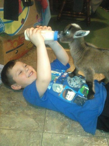 goat kids parenting - 8037806336