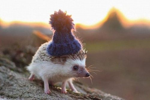 poorly dressed,hedgehog,hat
